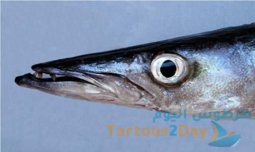 سمكة السفرنة الباراكودا