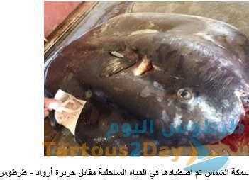 سمكة الشمس طرطوس جزيرة أرواد