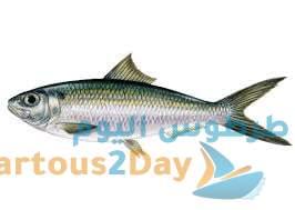 سمك السردين أنواعه و طرق صيده