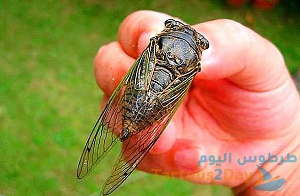مليارات حشرات السيكادا تغزو عشرات الولايات الأمريكية .